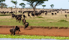 Thirsty (leonoos) Tags: water running serengeti thirsty singita bluewildebeest slicesoftime