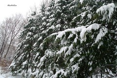 MaineWinter (OksiesWorld) Tags: trees winter snow me nature outside outdoors maine waterville snowing gex400