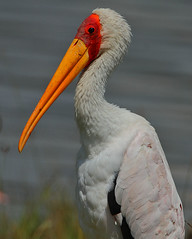 Yellow-billed Stork (Rainbirder) Tags: kenya yellowbilledstork lakenakuru mycteriaibis rainbirder