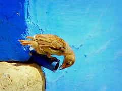 La paciencia (.Bambo.) Tags: blue bird azul ave almagro pjaro gorrin callejn
