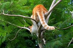Trooper - Jan 16 2014 (SKR_Photography) Tags: newzealand summer cats trooper cat canon garden ginger katten feline chat auckland katze gatto kot furbaby downunder waitakere furr kissa 2014 kotka landofthelongwhitecloud pisica gingerandwhite gingerwhite kowka furrbabies sx50hs summer2014