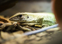 "Green ameiva • <a style=""font-size:0.8em;"" href=""http://www.flickr.com/photos/30765416@N06/12160218143/"" target=""_blank"">View on Flickr</a>"