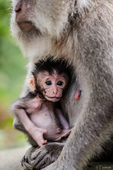 Baby. (Tiomax80) Tags: life travel family famille portrait bali baby max love nature animal animals fauna female forest indonesia mom monkey nikon hug infant raw nipple nipples child wildlife mother 85mm amour portraiture cuddle bebe monkeys teton nikkor tetons animaux enfant protection foret primate indonesian bb ubud vie protect primates singe macaque macaques balinese calin mre faune monkeyforest clin femelle catel tton calins tiomax ttons balinais indonsien d7000 tiomax80 mcatel