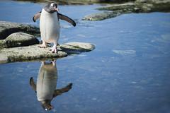 Antarctica 163 (Morten Skovgaard) Tags: travel snow cold ice expedition nature animals penguin penguins wildlife antarctica adventure seal seals iceberg zodiac polar rare plancius southpole antarktis sydpolen mortenskovgaard oceanwideexpeditions godknd