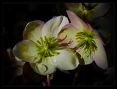 Christrose (Harald52) Tags: park natur pflanze blte garten frhling christrose vision:food=0524 vision:plant=084 vision:outdoor=0724 vision:flower=0692