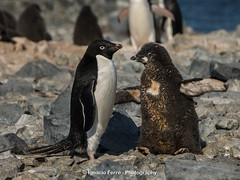 Adult & chick (Ignacio Ferre) Tags: bird penguin antarctica ave pjaro pingino antrtida pygoscelisadeliae adliepenguin pinginodeadelia