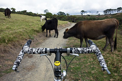 Crowded Trail (ibikenz) Tags: bicycle cows bell adventure micro lp okura surly coastaltrail longbay crosscheck rx100 microadventure yawyd sonycybershotdscrx100