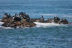 Cobble Beach Seals IMG_7843 (SunCat) Tags: travel vacation beach oregon coast harbor all head cobble newport seals pnw 2014 yaquina