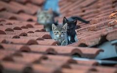 junior (06) (Vlado Ferenčić) Tags: junior kitty cats catsdogs animals animalplanet nikond600 sigma150500563 zagorje croatia hrvatskozagorje hrvatska catmoments vladoferencic vladimirferencic