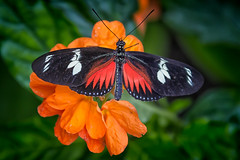 Doris Longwing Red Form (dngovoni) Tags: flower macro butterfly insect background brookside dorislongwing