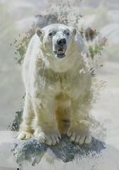 Not fade away (ucumari photography) Tags: ucumariphotography nikita polarbear ursusmaritimus oso bear animal mammal nc north carolina zoo osopolar ourspolaire oursblanc eisbär ísbjörn orsopolare полярныймедведь internationalpolarbearday february 2017 dsc7626 specanimal 北極熊