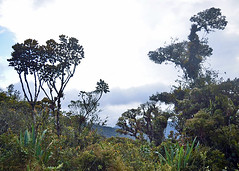 PURACE, COLOMBIA - cloud forest/ ПУРАСЕ, КОЛУМБИЯ - туманный лес (Miami Love 1) Tags: forest bosque bosqueneblino bosquenuboso cloudforest моховойлес туманныйлес лес popayan purace parquenacional nationalpark попаян пурасе национальныйпарк нацпарк colombia colombian colombiano columbia колумбия колумбийский южнаяамерика латинскаяамерика латиноамериканский южноамериканский southamerica latinamerica
