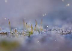 (chlobro123456789) Tags: twinkle frosty winter cold glitter wintersun bryophyte moss