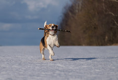 Beagle dog running in the snow (androsoff) Tags: beagle brown dog ears eyes friend funny meadow sun white winter animal background beautiful breed canine cold doggy frost head hound hunting look mammal nobody nose one outdoor park pedigree pet play playful portrait
