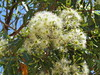 Eucalyptus (jdf_92) Tags: australia nsw flower wildflower kuringgai kuringgaichase nationalpark eucalyptus tree