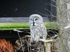 Great Grey Owl, Highland Wildlife Park, Feb 2017 (allanmaciver) Tags: owl great grey quiet sleepy watch highland wildlife park cairngorm kincraig scotland