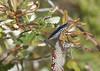 Dark Blue Banksia Jewel Beetle (boombana) Tags: darkbluebanksiajewelbeetle jewelbeetle banksiajewelbeetle beetle insect cyrioidesaustralis cyrioides cyriaaustralis banksia currimundi