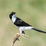 Long-tailed Fiscal (Lanius cabanisi) checking me out thumbnail