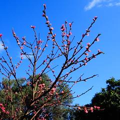 Ροδακινια DSC06944 (omirou56) Tags: ροδακινιά δεντρο ουρανοσ αιγιο ελλαδα φυση greece tree sky aigio nature natur natura outdoor blue 11 sonydscwx500 blossom