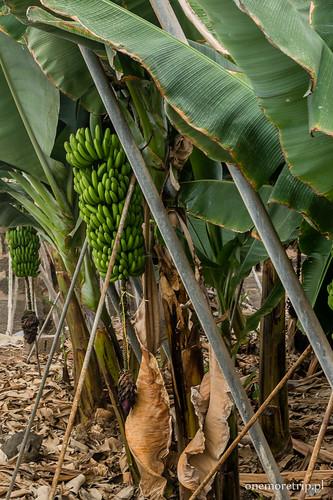 170206-1694-banany