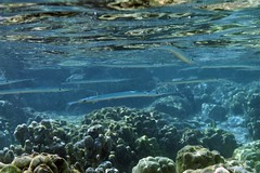 keeltail needlefish: Platybelone argalus (kris.bruland) Tags: keeltailneedlefishplatybeloneargalus belonidae platybeloneargalus kahaluubeachpark keeltailneedlefish keeledneedlefish needlefish aha kailuakona kona northkona keahou westhawaii hawaiicounty bigisland coral hawaii hawaiian creature reef pacific ocean scuba sea snorkel underwater snorkeling tropical dive diver diving ecology ecosystem environment environmental fish krisbruland ichthyology ichthyologist island islands marine nature organism outdoor saltwater science undersea vertebrate water zoology life sandwich animal aquatic biology