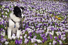 "Version II: Mehr ""Fleur"" geht kaum! (Uli He - Fotofee) Tags: ulrike ulrikehe uli ulihe ulrikehergert hergert fotofee nikon nikond90 krokuss krokusswiese frühling weiher burghaun blumen frühlingsblumen frühlingswiese tier sheltie hund baby hundebaby tierbaby tierkind shetlandsheepdog hütehund welpe puppy"