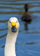 Bewick's Swan (paulgmccabe) Tags: white bird london nature neck swan head wildlife beak reserve waterbird wetlands barnes protected bewick londonwetlandcentre bewicks wetlandcentre