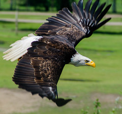 To baldly go... (Gilles 1972) Tags: usa bird eagle symbol flight mei gilles beeksebergen nationalism zeearend birdshow arend hilvarenbeek pinksteren pinksterweekend 2013 roofvogelshow baldheadedeagle glijvlucht duikvlucht nationalbirdofamerica gillesdenbandt mei2013
