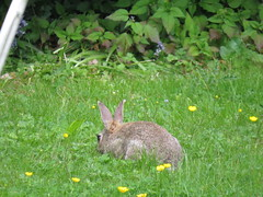 Bunny In Clover (Ian156) Tags: rabbit wildlife oryctolaguscuniculus