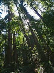 Muir Woods (miemo) Tags: sanfrancisco california travel trees summer usa sun sunlight nature woods olympus muirwoods redwood omd sequoiasempervirens em5