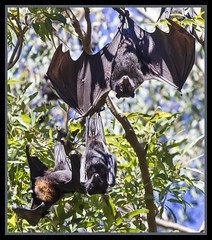 Redcliffe Fruit Bat Colony-04= (Sheba_Also) Tags: fruit bat redcliffe colony