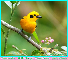 GOLDEN TANAGER Tangara arthus Perched next to Pink Flower Buds near Mindo in Northwestern ECUADOR. Tanager Photo by Peter Wendelken. (Neotropical Pete) Tags: ecuador tanager tangara mindo pichincha thraupidae ecuadorbirds southamericanbirds tangaraarthus goldentanager mygearandme peterwendelken ecuadorphoto goldentanagerphoto goldentanagerinecuador ecuadortanagers southamericantanagers tangaradorado mindotanagers tanagerphotobypeterwendelken tángaradorado ecuadorbirdingtripreport