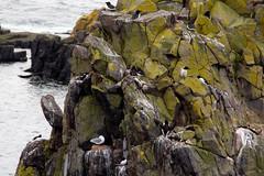 Isle Of May - Image 23 (www.bazpics.com) Tags: lighthouse bird nature landscape island scotland gull may reserve scottish puffin beacon isle sanctuary guillemot barryoneilphotography