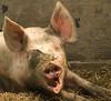 Grunting portret  ..oink.. oink (Snoek2009) Tags: animal mouth pig teeth ears lazy portret grunt sauwerd blinkagain doatemashoukje