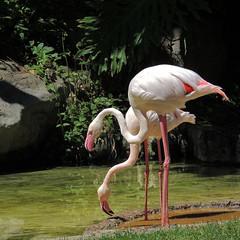Flamingo Pair ( Slices of Light   ) Tags: california pink white square zoo la losangeles los nikon angeles flamingo crop    p510