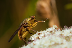 dung fly yoga (T_J_P) Tags: macro nature yoga closeup canon eos fly 5d mkii 100mmf28macro