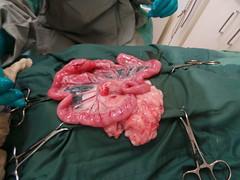 Daisy exploratory laparotomy (Rayya The Vet) Tags: cat feline vet devonrex intestines twitter vetsurgery exploratorylaparotomy