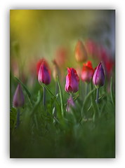 World of Colors (Cpt<HUN>) Tags: light flower color nature mood emotion tulip impression cpt narcissus