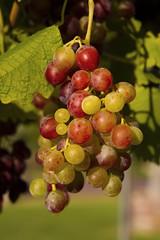 Temecula, CA (Aaron_M_S) Tags: vineyard grapes temecula