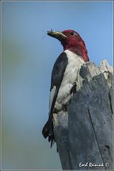 """Red-headed Woodpecker (20130818-1232) (Earl Reinink) Tags: woodpecker nikon nest niagara earl redheadedwoodpecker nikond4 earlreinink reinink"""""""