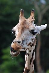 Giraffe - 3142 (stefanfricke) Tags: animal zoom giraffe tier