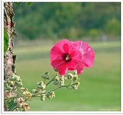 Stockrose - Alcea Rosea (Jorbasa Mwa) Tags: plant flower rose germany deutschland hessen blossom pflanze blume blte stockrose wetterau malve alcearosea malvengewchse jorbasa