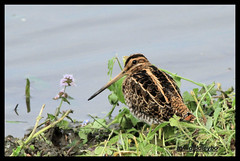 common snipe (Diddley Bo) Tags: