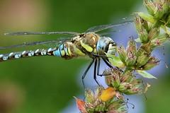 he (cre8ive-M) Tags: male dragonfly ngc npc libel hardenberg migranthawker aeshnamixta paardenbijter botanischevijvertuinenadahofman zoolen theadahofmanbotanicaquaticgardenmorethan30gardensand50ponds