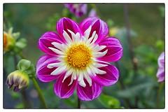 Dahlia 10 - Derwood, MD (gastwa) Tags: dahlia flower nature landscape dc washington flora nikon focus scenery control perspective 85mm shift maryland andrew full frame manual fullframe fx tilt f28 array d800 tiltshift pce gastwirth d800e andrewgastwirth