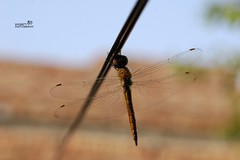 Dragonfly (Waleed's Photography) Tags: dragonfly cable