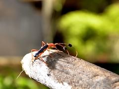 Anglų lietuvių žodynas. Žodis rove beetle reiškia rove vabalas lietuviškai.