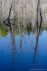 Dead reflections. (Rob Huntley Photography - Ottawa, Ontario, Canada) Tags: autumn trees color colour fall forest reflections dead photography photo woods branches beaver photograph swamp pon deadtrees