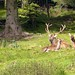Black Forest: Red deer