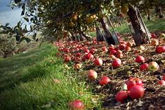 Fallen Apples in Sunlight (Muhammad Ali) Tags: trees apple grass leaves farm harvest hanging chudleighs chudleigh gruit